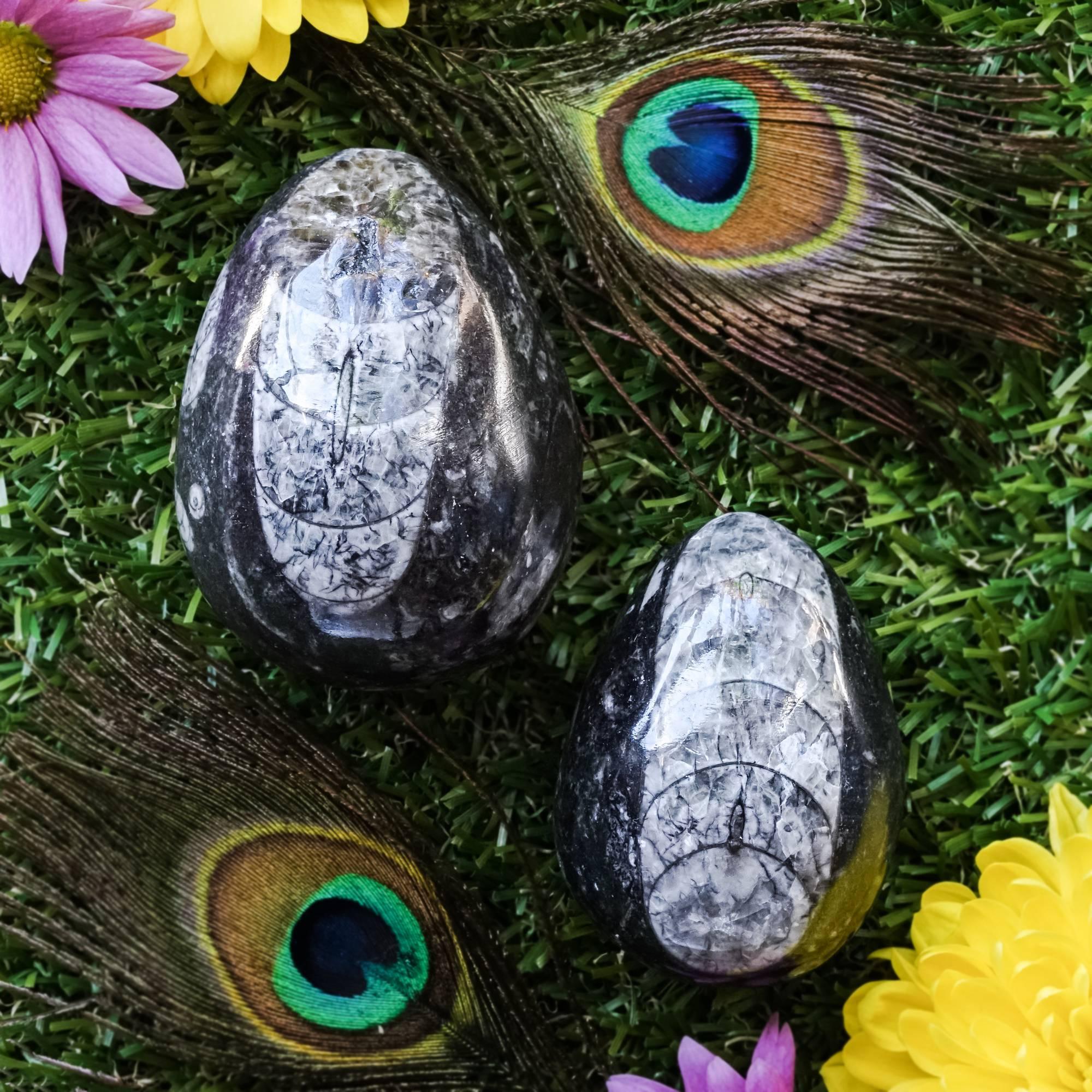 Orthoceras Eggs
