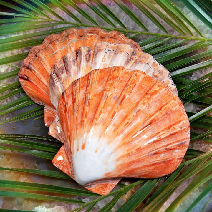 Scallop Smudge Shells