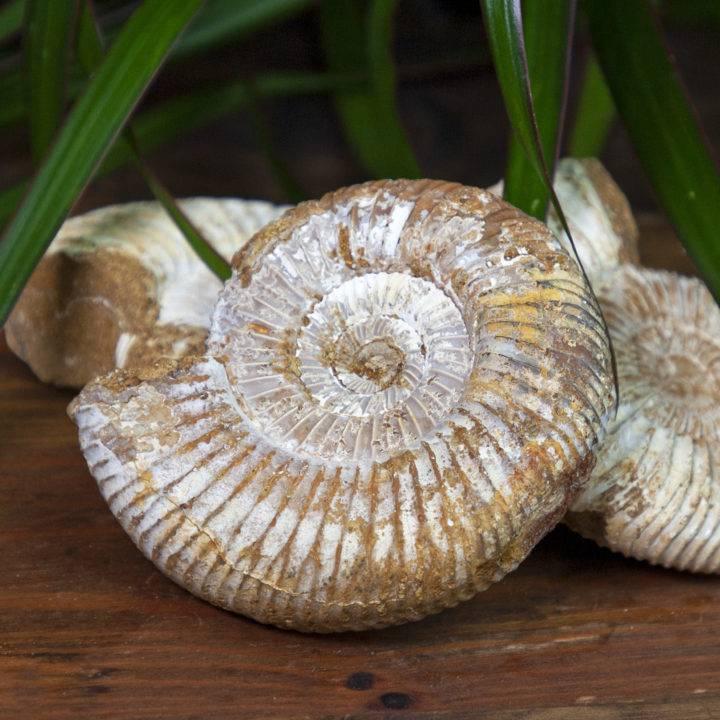 Natural White Ammonite