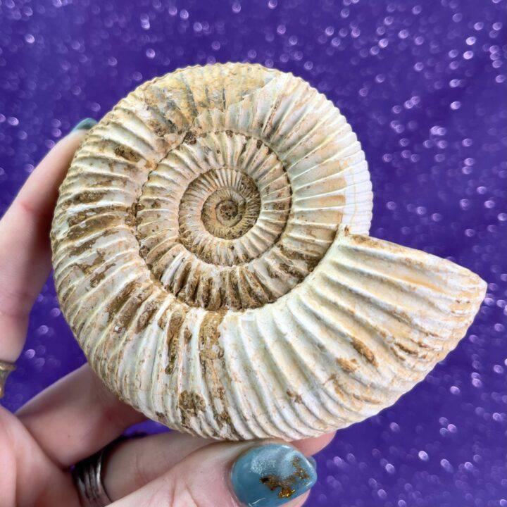Ammonite Fibonacci Fossil